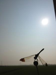 暑くてとんぼも太陽に背を